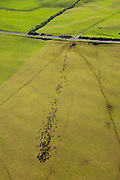 Cattle, Ranch Land, Kohala Mountain Road , Route 250, North Kohala, Big Island of Hawaii