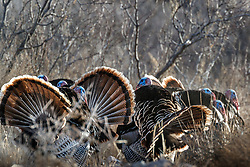 Backlit wild tom turkeys strutting (Meleagris gallopavo) on road , Ladder Ranch, west of Truth or Consequences, New Mexico, USA.
