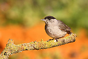 Male blackcap (Sylvia atricapilla) perched on a branch Shot in Israel April 2010