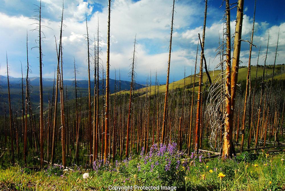 pines, foothills of Mount Washburn, Yellowstone National Park.