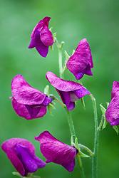 Lathyrus odoratus 'Porlock'. Sweet pea