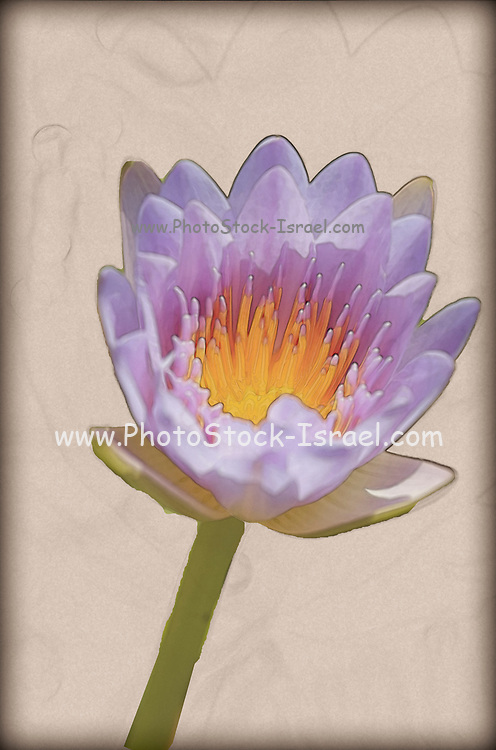 Digitally enhanced image of a water lilly in a pond