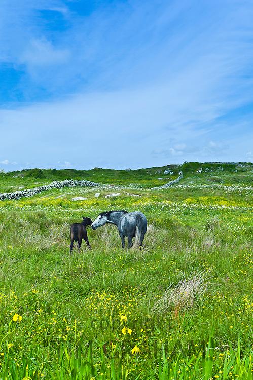 Connemara pony grey mare and foal in buttercup meadow, Connemara, County Galway, Ireland