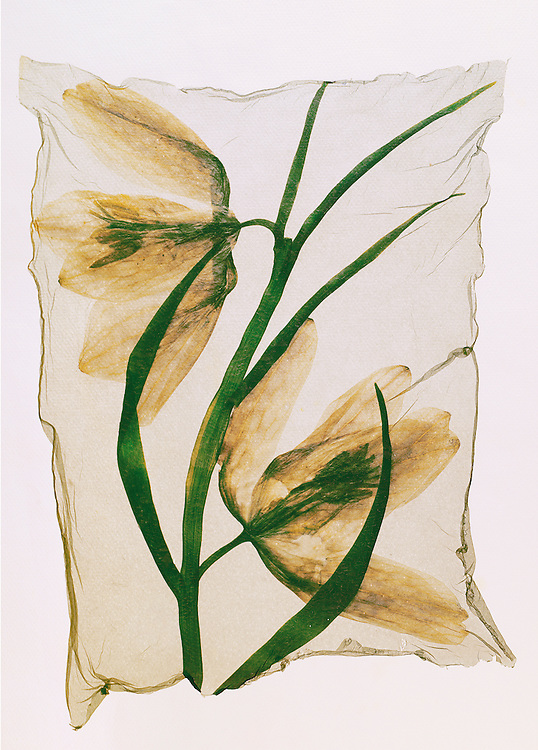 Pressed Fritillary -  Wild  flowers - Polaroid lift.