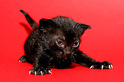 one week old kitten on red background nails protruding