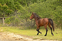 NC01419-00...NORTH CAROLINA - One of the semi-wild Banker horses walking a sandy road through an issolated beach side community on the Outer Banks, north of Corrola.