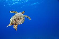 Green Sea Turtle, Chelonia mydas, endangered species, off Kona Coast, Big Island, Hawaii, Pacific Ocean