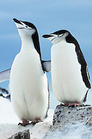 Portrait of two Chinstrap penguins, Orne Island, Antarctica. Wildlife and nature photography wall art. Fine art photography prints, stock images. Nicki Geigert