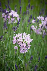 Allium unifolium AGM (American onion) with Lavandula angustifolia 'Munstead'. English lavender