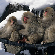 Snow Monkey or Japanese Red-faced Macaque, (Macaca fuscata) Injured leg. Grooming. Japan.