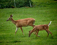 Doe and Fawn with Spots. Image taken with a Nikon N1V3 camera and 70-300 mm VR lens