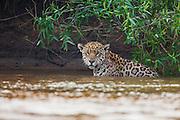 A wild jaguar (Panthera onca) sitting in the water, Pantanal, Brasil, South America