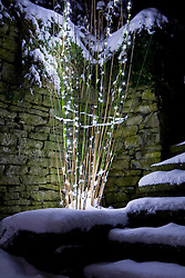 Fairy lights strung up the stems of a bamboo in winter. Himalayacalamus falconeri