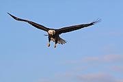 Bald Eagle, Haliaeetus leucocephalus, soaring, Kenai Peninsula, Homer Spit, Homer, Alaska. Digital original #2006_1357 ©Robin Brandt