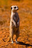 Meerkats, Solitaire, Namib Desert, Namib-Naukluft National Park, Namibia