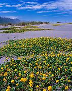 Yellow Sand Verbena, Gold Bluffs Beach, Prairie Creek Redwoods State Park, Redwood National Park, California