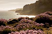 Thrift on sea cliffs at Kimmeridge looking towards Gad Cliff. Dorset, UK.