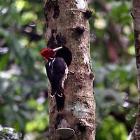 Central America, Costa Rica, Manuel Antonio. Pale Billed Woodpecker.