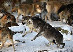 28.12.2014, Wildtierpark, Bad Mergentheim, GER, Wölfe im Wildtierpark Bad Mergentheim, im Bild Weiblicher Leitwolf, Alphawolf, Zurechtweisung eines Jungtiers im Wolfsrudel, Rangordnung, Dominanz, Timberwolf, Kanadischer Wolf (Canis lupus occidentalis) im Schnee, captive // Wolves in the Wildtierpark in Bad Mergentheim, Germany on 2014/12/28. EXPA Pictures © 2015, PhotoCredit: EXPA/ Eibner-Pressefoto/ Weber<br /> <br /> *****ATTENTION - OUT of GER*****