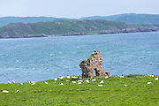 Sheep by ancient ruin on Isle of Iona in the Inner Hebrides and Western Isles, Scotland