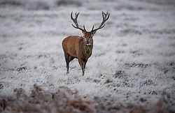 © Licensed to London News Pictures. 19/01/2020. London, UK. A deer stag grazing In a frost covered landscape at sunrise in Richmond Park in west London on a bright and freezing Winter morning. Photo credit: Ben Cawthra/LNP
