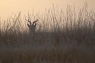 Przewalski's gazelle, Procapra przewalskii, Qinghai Lake, Koko Nor, Tibetan Plateau, Qinghai, China