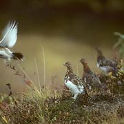 Willow Ptarmigan, (Lagopus lagopus) Small flock on autumn hued tundra. One takes flight. Early fall. Churchill, Manitoba. Canada.
