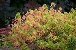 The autumn foliage of Euphorbia epithymoides syn. E. polychroma - spurge.