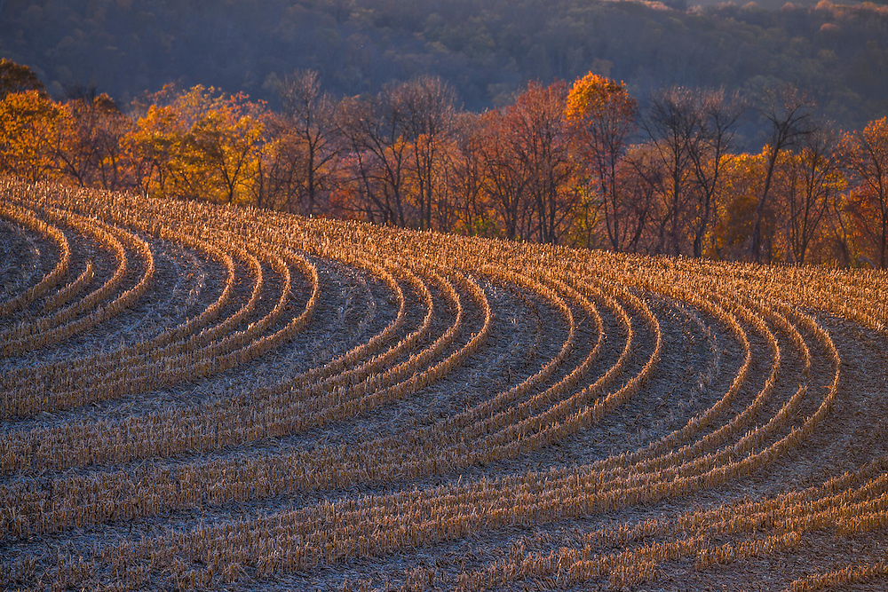 Rows of harvested corn stalks in fall, afternoon sun. Holtwood, PA