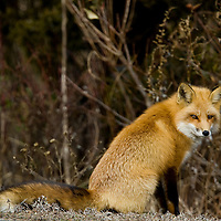 A red fox (Vulpes vulpes) with a full winter coat walks around Sandy Hook National Park in Highlands New Jersey in search of food.  Foxes are a rare sight at the park that was found early in the year before the summer beach crowds arrive.