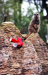 A Meerkat looks over a Christmas cracker at Whipsnade Zoo, North of London, UK Tuesday December 18, 2012.Photo by Max  Nash / i-Images.