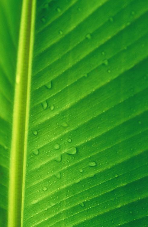 Cook Islands, K?ki '?irani, South Pacific Ocean, banana leaf detail