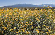Yellow daisies in late summer, Taos, New Mexico