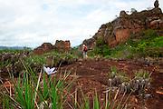 Chapada dos Guimaraes_MT, Brasil...Imagens do Parque Nacional da Chapada dos Guimaraes no Estado do Mato Grosso. Na foto flor Canela-de-Ema (Vellozia squamata Pohl) no Vale dos Dinossauros...The Chapada dos Guimaraes National Park  is a national park in the Brazilian state of Mato Grosso. In this photo the flower Vellozia squamata Pohl in the Vale dos Dinossauros...Foto: JOAO MARCOS ROSA / NITRO..