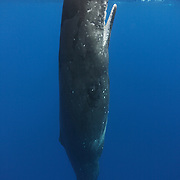 An inquisitive female sperm whale that spent considerable time at and near the ocean surface spyhopping and investigating my boat and people in the water