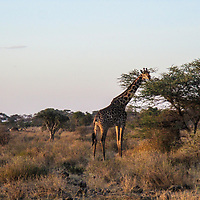 A giraffe spots the camera as she eats off the branches of an Acacia tree.