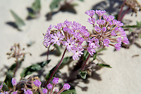 Close-up detail of the sand verbena. This southwestern native wildflower is found in the wild only in Arizona, New Mexico and parts of Texas.
