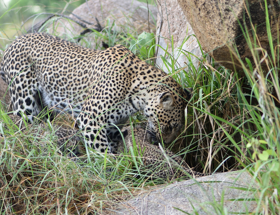A female leopard (Panthera pardus) calls her two  very young cubs, eyes still blue,  from their  den. Serengeti National Park, Tanzania.