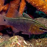 Silverlined Cardinalfish inhabit coastal reefs. Picture taken Dumaguete, Philippines.