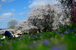 People relax at the cherry blossom lined Schuylkill river banks, in the Fairmount Park section of Philadelphia, PA on April 10, 2019. Each spring the vibrant tree line proves popular amongst tourists, photographers and Instagrammers.