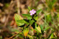 One of the most common wildflowers to grow in the pinelands of South Florida is the chocolateweed, as seen her ein the CREW Marsh Hiking Trails here in SW Florida.