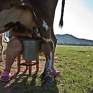 Mongolia. milking cow.  Tumur batar. catle breeder family in Gatchurt area near.   gatchurt -  / traite des vaches. Tumur batar famille díeleveurs. mouton.  VALLEE DE GATCHURT. dans les environs de   Gatchurt - Mongolie / L0009365B
