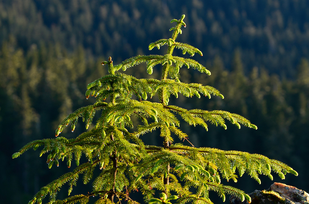 Young spruce tree on the coast of Southeast Alaska.
