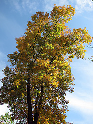 11 Oct 2011: Autumn colored leaves on trees against a bright blue sky. Rural Indiana, specifically in or close to Brown County.