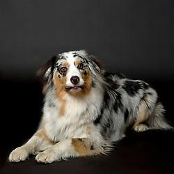 Australian Shepard Dog
