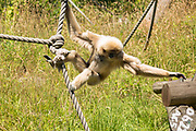 Female White-handed Gibbon, Hylobates lar, called Hazel climbing on rope at Jersey Zoo - Durrell Wildlife Conservation Trust, Channel Isles