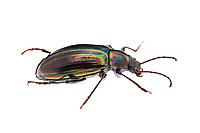 Tarpela micans - gleaming darkling beetle.  Phtographed at Fort Mountain State Park, GA USA.