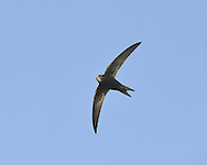 Swift Apus apus L 16-17cm. Invariably seen in flight: has anchor-shaped outline and mainly dark plumage. Catches insects on the wing. Sexes are similar. Adult has mainly blackish brown plumage with pale throat. Tail is forked but often held closed in active flight. Juvenile is overall darker but throat and forehead are paler. Voice Loud screaming calls uttered in flight. Status Locally common summer visitor. Nests in churches and loft spaces. Feeding birds gather where insects are numerous. Observation tips Easy to see in late spring in villages and towns. Most adults leave Britain in August.