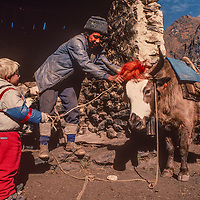 A Sherpa yak driver lets 3-year old Ben Wiltsie help with harnessing a yak at Tengboche Monastery in Nepal.