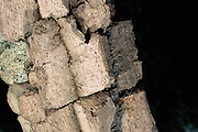 Thick Corky Tree Bark<br />Typical vegetation of the Cerrado Habitat<br />Piaui State,  BRAZIL   South America